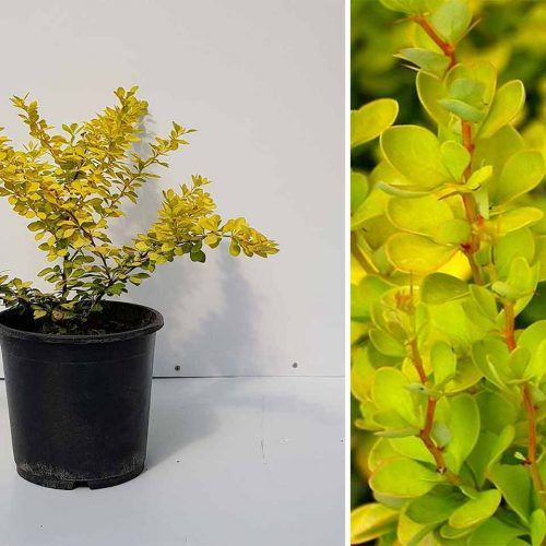 Berberis Thunbergii 'Aurea' (Golden Japanese Barberry) - Shrub