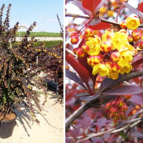 Berberis x Ottawensis 'Superba' (Barberry 'Superba') - Shrub