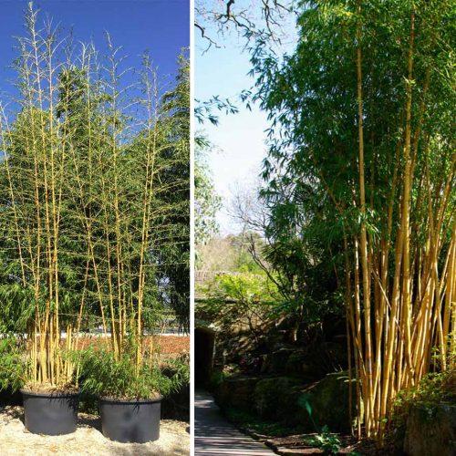 Bambusa Phyllostachys Vivax 'Aureocaulis' (Giant Bamboo 'Aureocaulis')