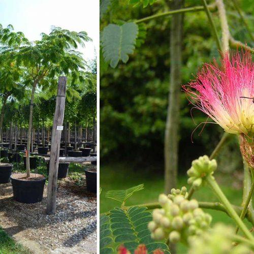 Albizia Julibrissin (Silk Tree) - Standard