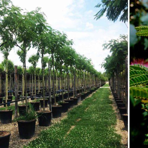 Albizia Julibrissin 'Ombrella' (Silk Tree 'Ombrella') - Standard