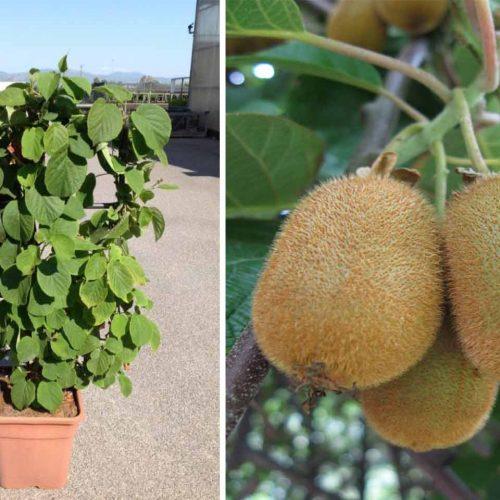 Actinidia Chinensis 'Hayward' (Kiwi Plant) - Trellis / Espalier