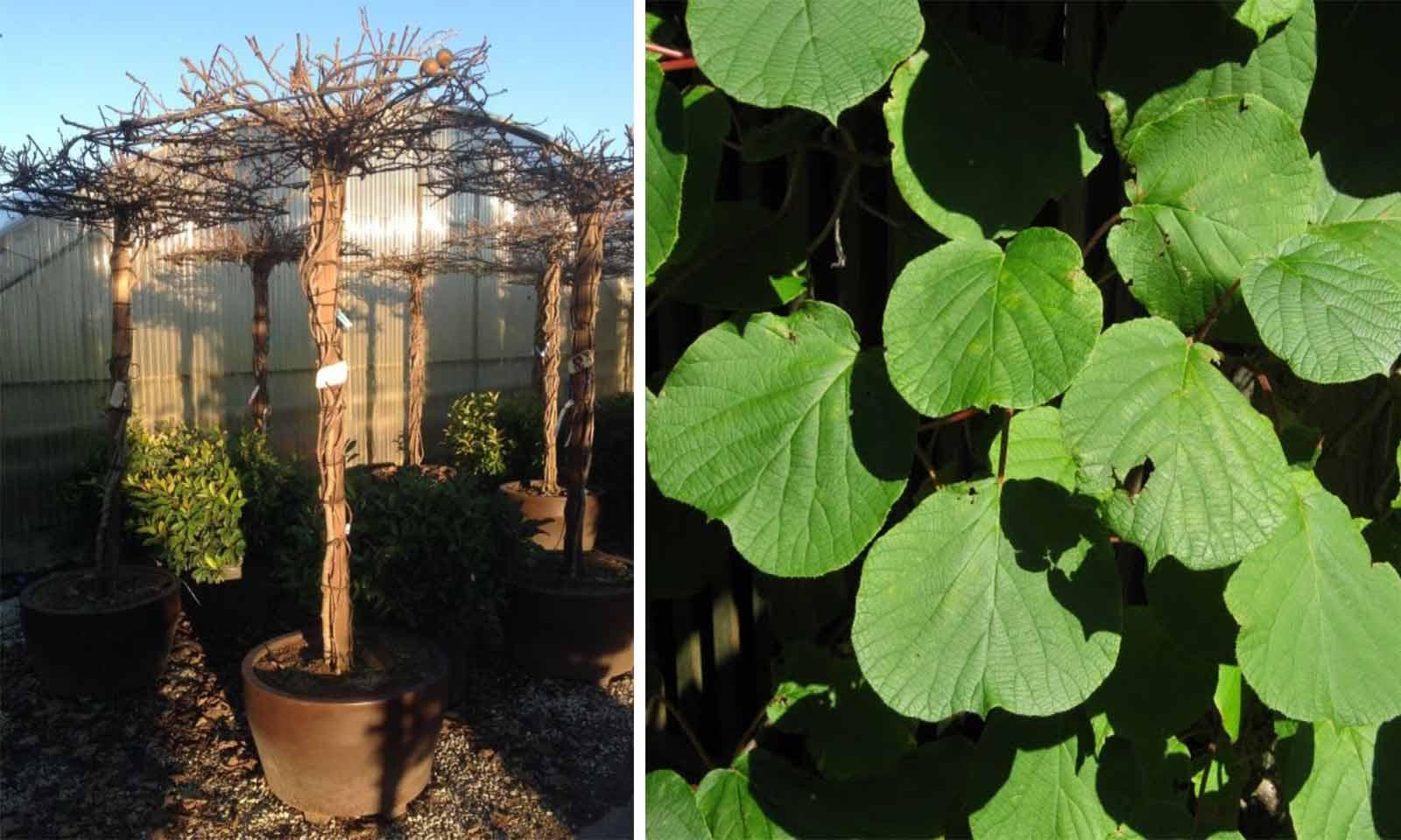 Actinidia Chinensis 'Hayward' (Kiwi Plant) - Roof Shape