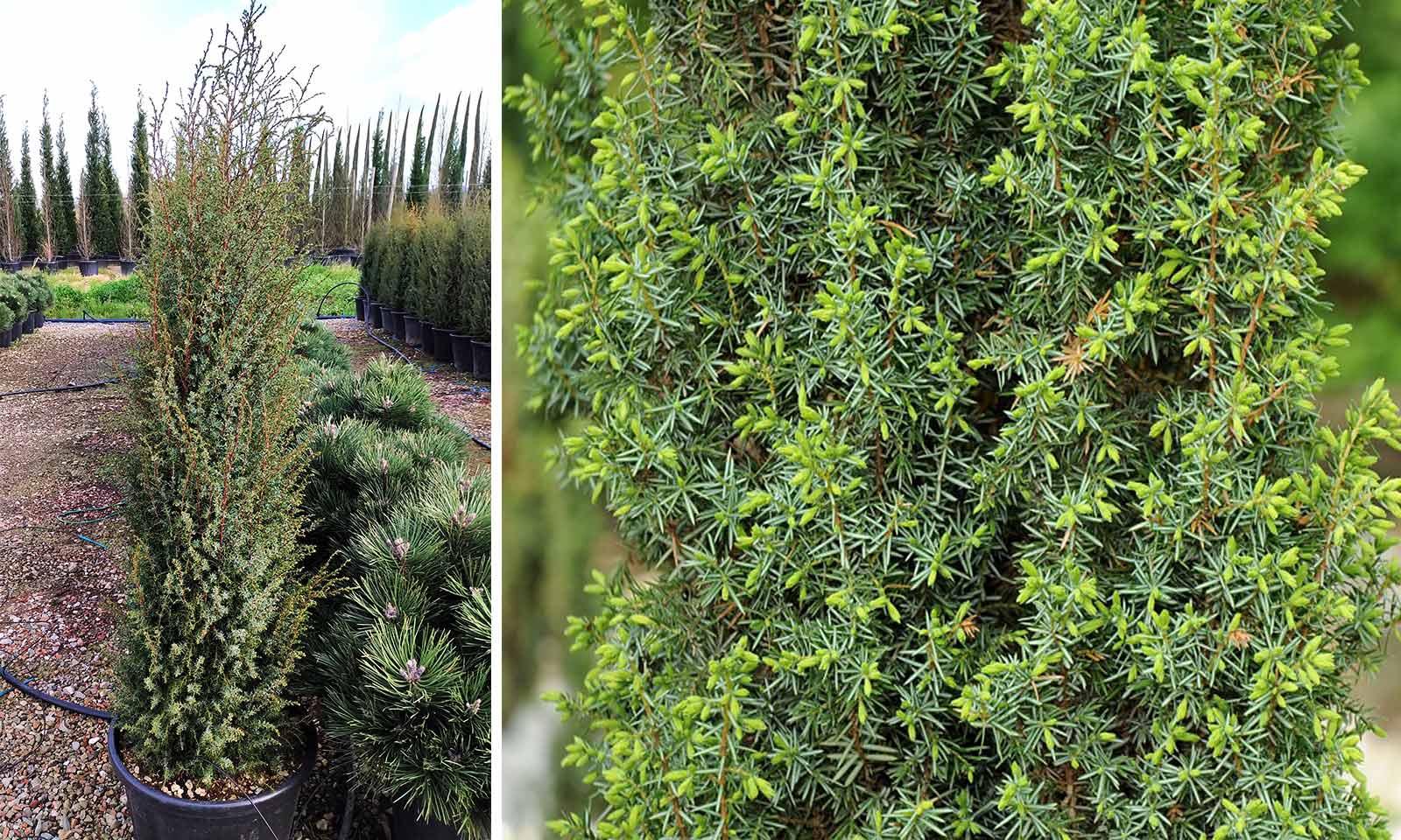 Juniperus Communis 'Hibernica' (Irish Juniper)