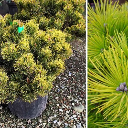 Pinus Mugo 'Winter Gold' (Dwarf Mountain Pine 'Winter Gold')