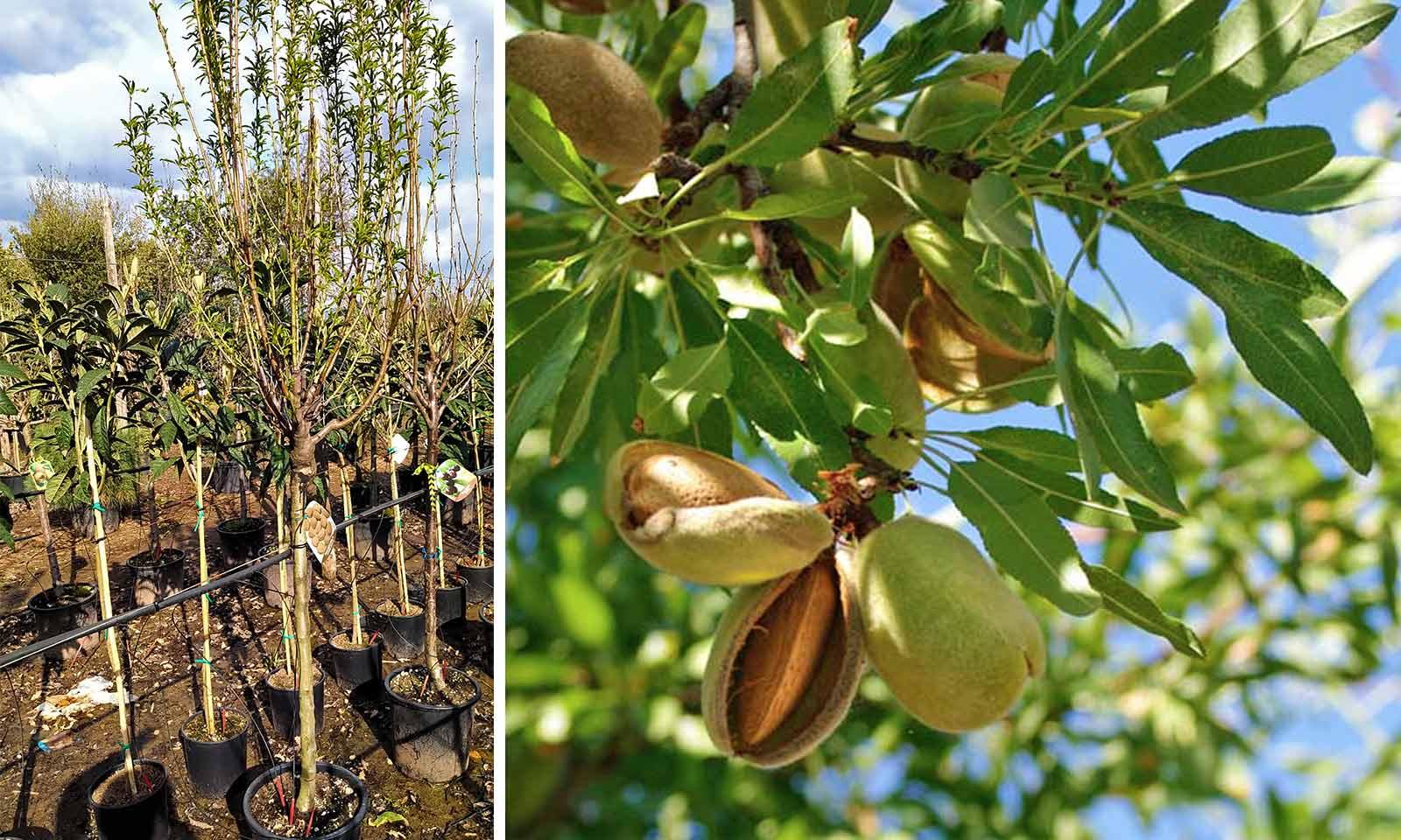 Prunus Dulcis (Sweet Almond Tree)