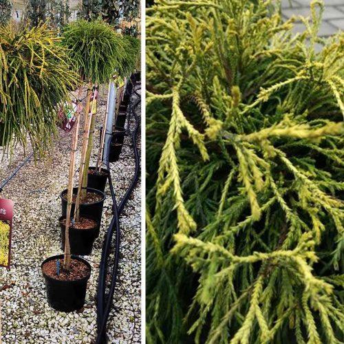 Chamaecyparis Pisifera 'Sungold' (Sawara Cypress 'Sungold') - Half Standard