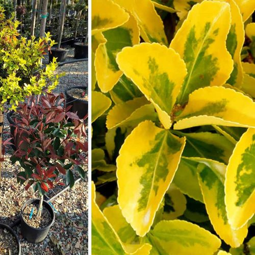 Euonymus Fortunei 'Emerald 'n Gold' (Spindle 'Emerald 'n' Gold') - Half Standard