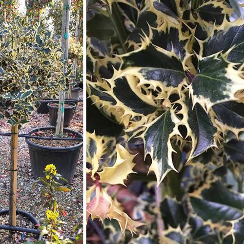 Ilex Aquifolium 'Argenteomarginata' (Variegated English Holly) - Half Standard