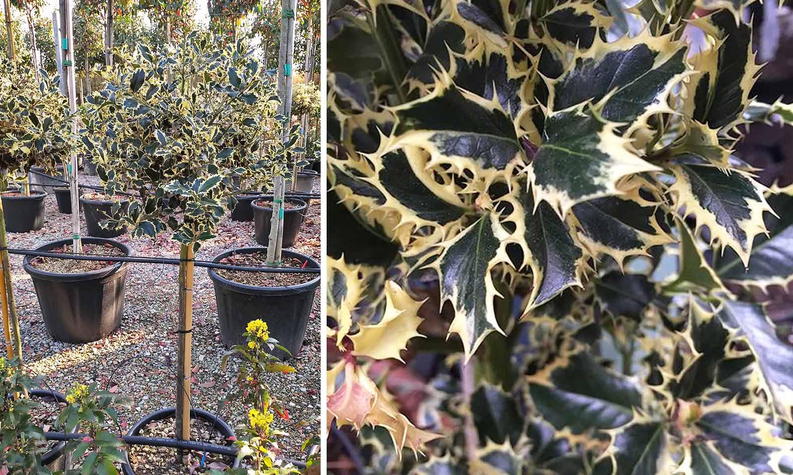 Ilex Aquifolium 'Argenteomarginata' (Variegated English Holly) - Half Standard