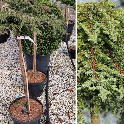 Juniperus Communis 'Greenmantle' ('Greenmantle' Common Juniper) - Half Standard