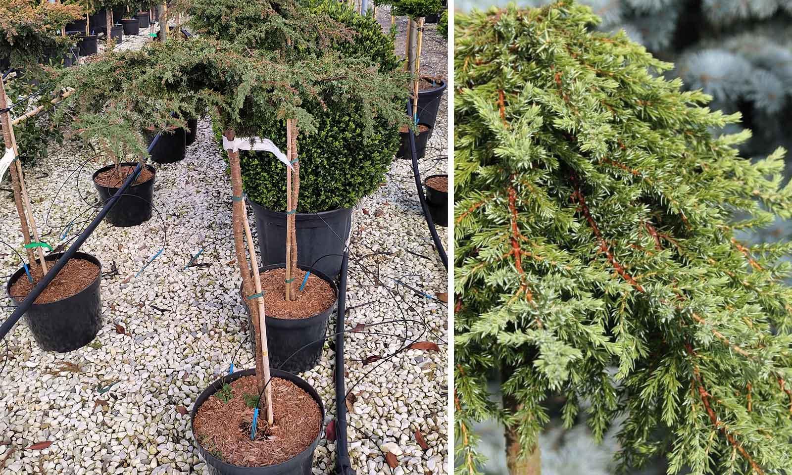 Juniperus Communis 'Greenmantle' ('Greenmantle' Common Juniper) - Half Standard
