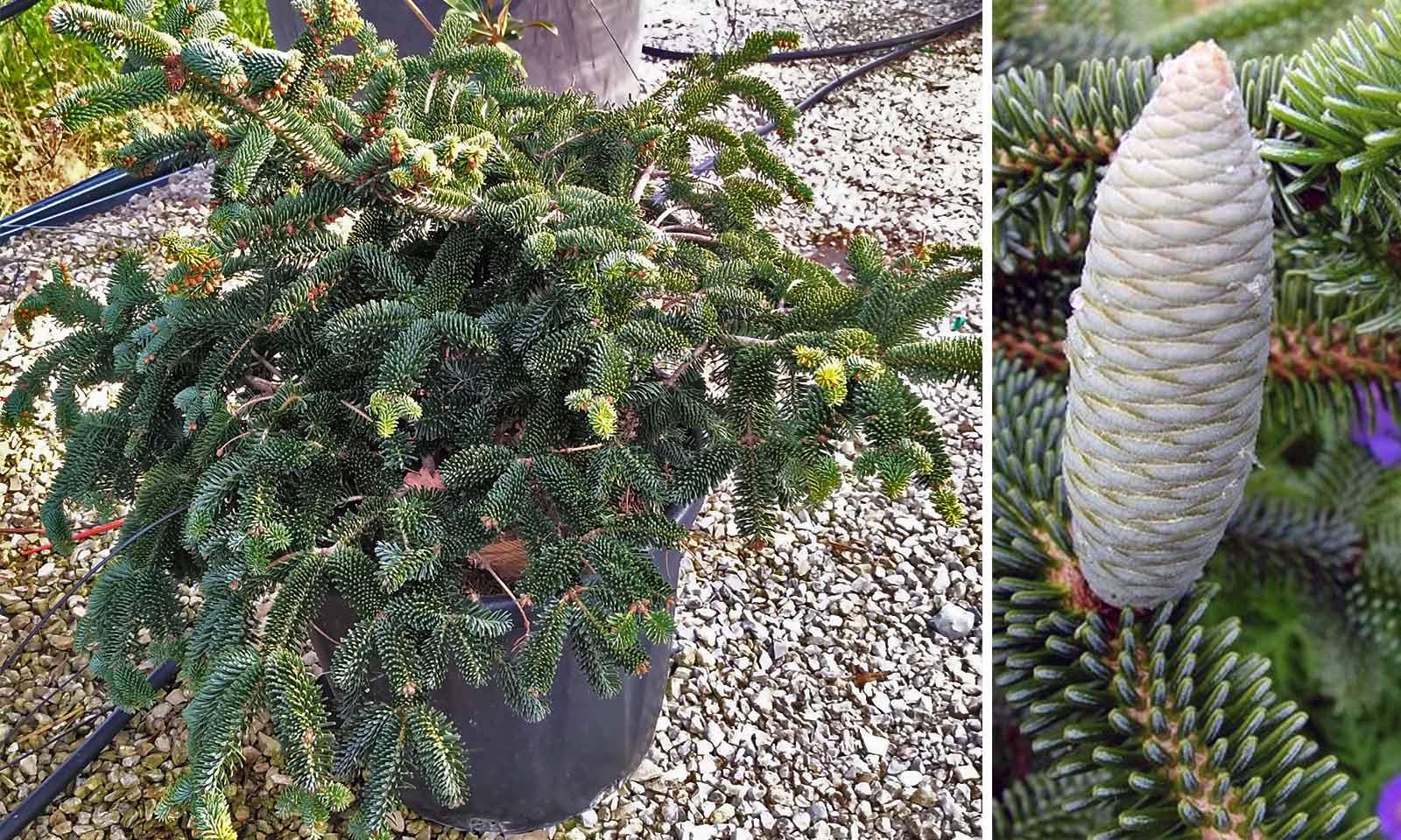 Picea Abies 'Numidica Pendula' (Norway Spruce 'Numidica Pendula')