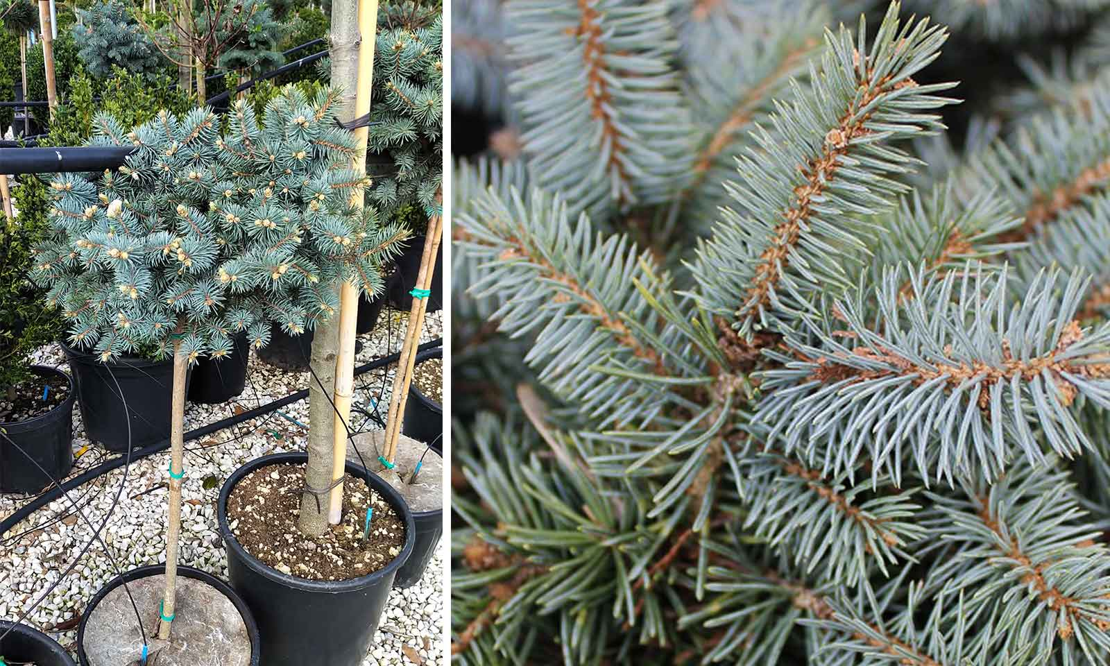 Picea Pungens 'Glauca Globosa' (Colorado Spruce 'Glauca Globosa') - Half Standard