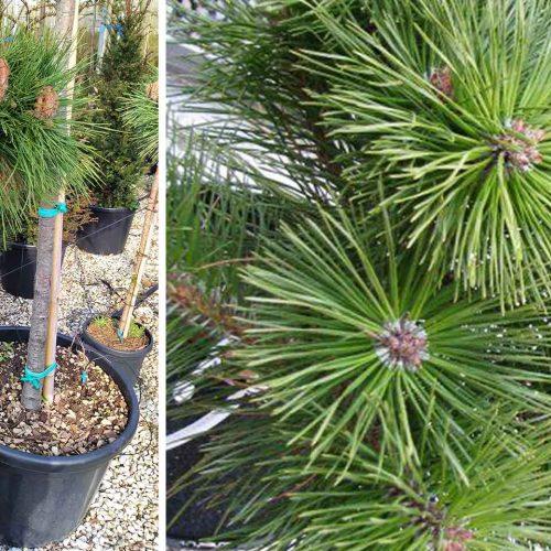 Pinus Nigra 'Brepo' (Dwarf Austrian Pine 'Pierrick Bregeon') - Half Standard