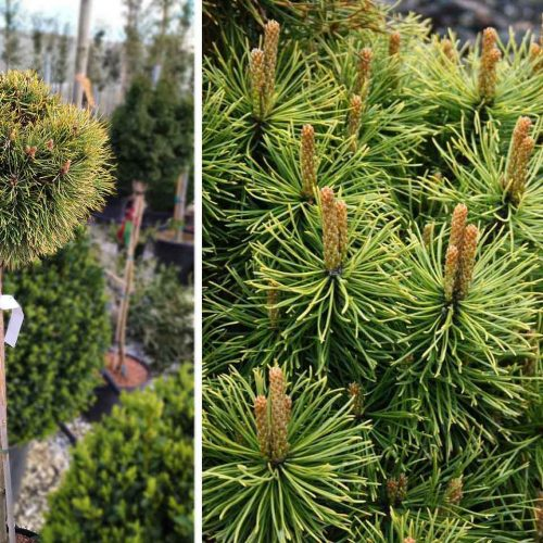 Pinus Mugo 'Winter Sun' (Dwarf Mountain Pine 'Winter Sun') – Half Standard