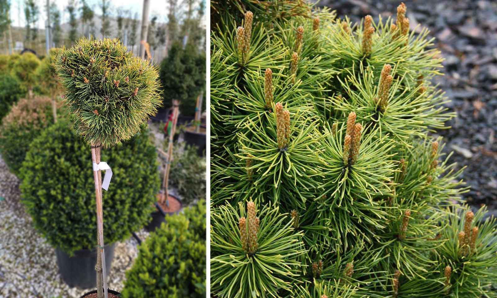 Pinus Mugo 'Winter Sun' (Dwarf Mountain Pine 'Winter Sun') - Half Standard