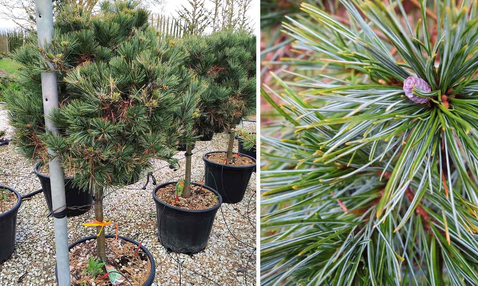 Pinus Strobus Minima (Eastern White Pine) - Half Standard