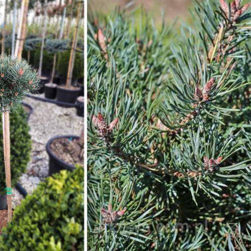 Pinus Sylvestris 'Martham' (Scots Pine 'Martham') - Half Standard