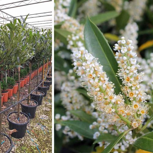 Prunus Laurocerasus 'Otto Luyken' (Cherry Laurel 'Otto Luyken') - Half Standard