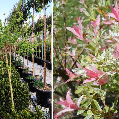 Salix Integra 'Hakuro-Nishiki' (Flamingo Willow / Shrimp Willow) - Half Standard