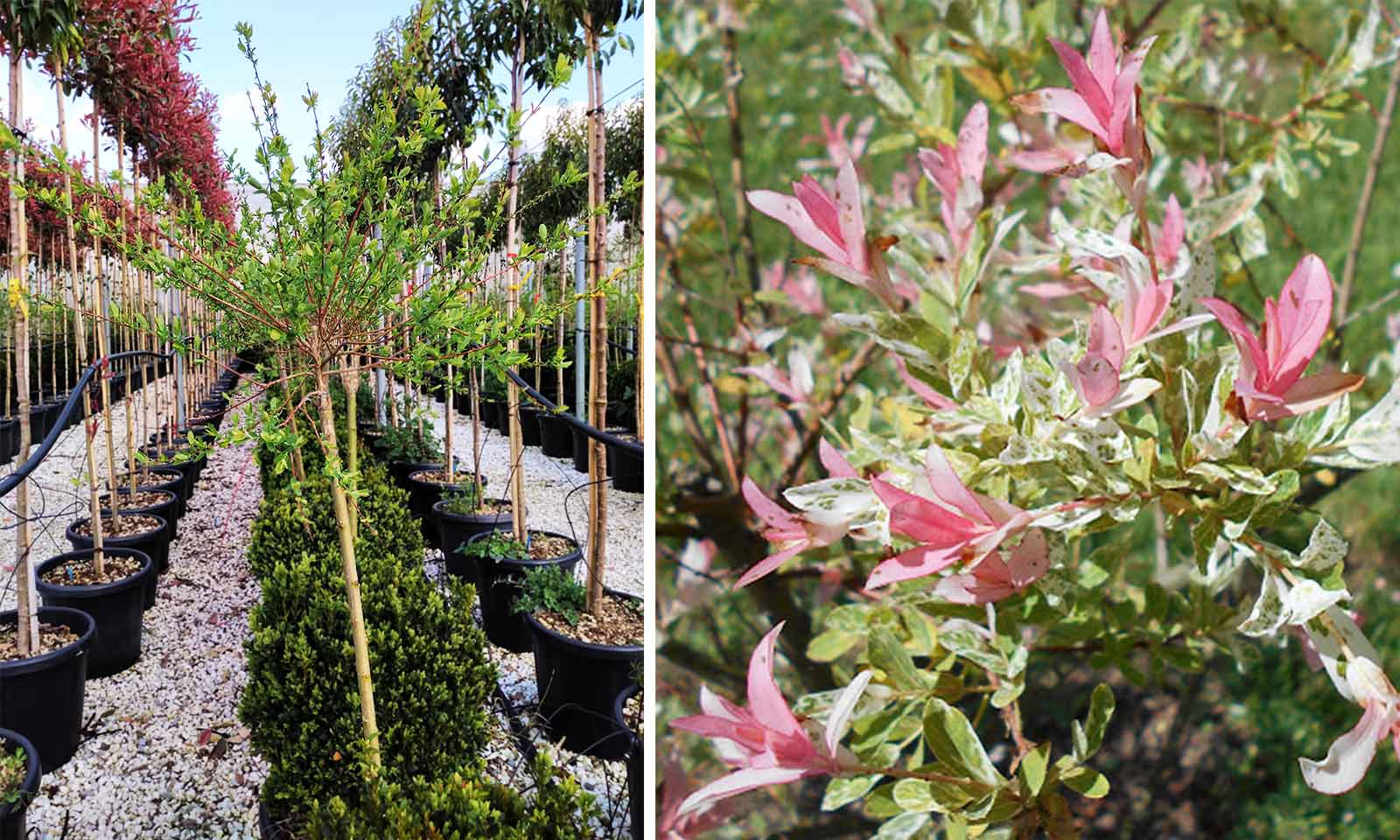 Salix Integra 'Hakuro-Nishiki' (Flamingo Willow / Shrimp Willow) - Half Standard