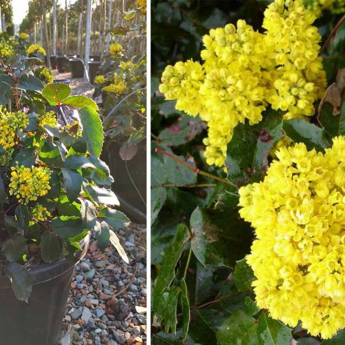 Mahonia Aquifolium 'Apollo' (Oregon Grape 'Apollo') - Shrub