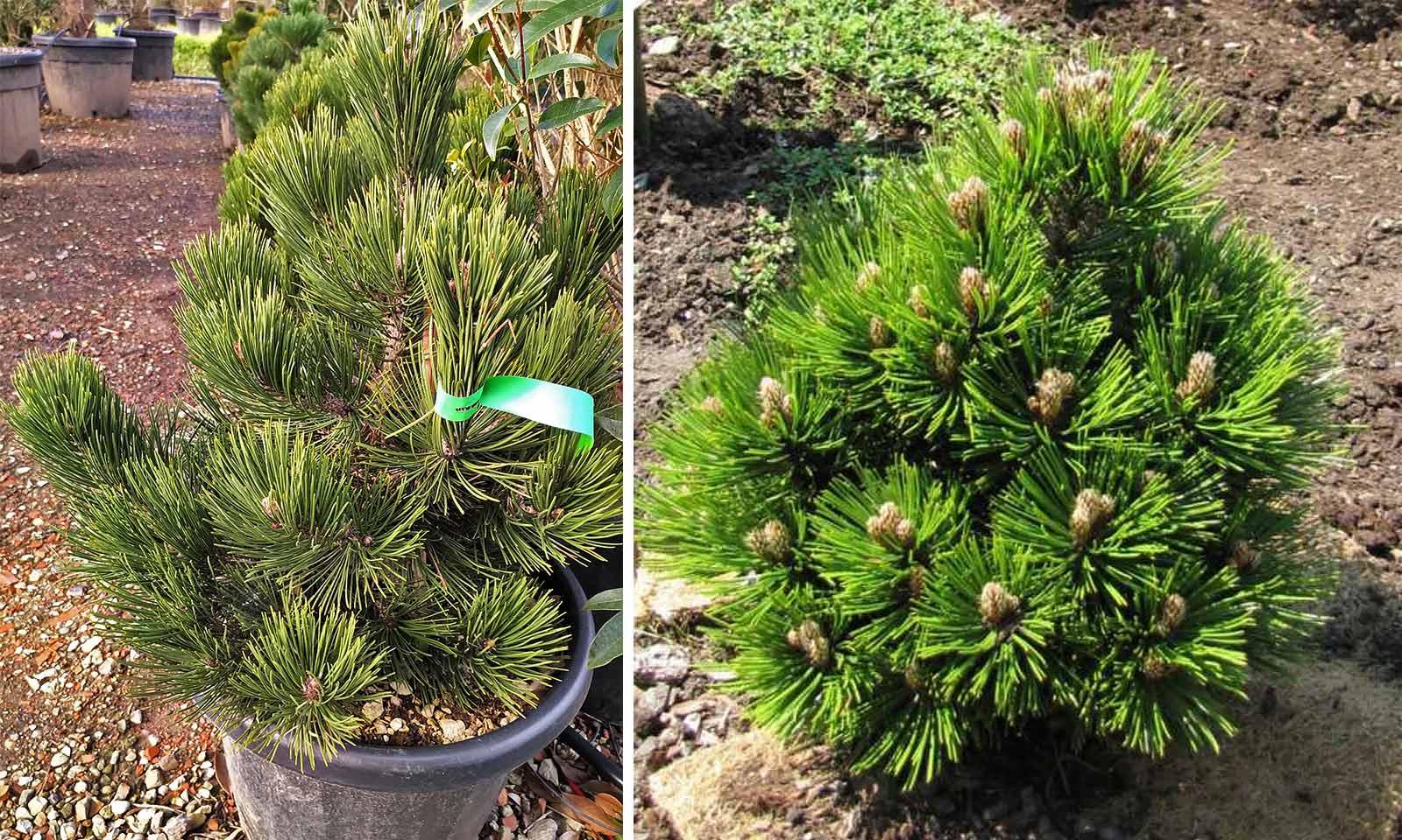 Pinus Heldreichii 'Compact Gem' (Bosnian Pine 'Compact Gem')