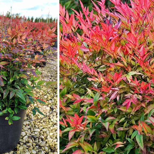Nandina Domestica 'Gulf Stream' (Heavenly Bamboo 'Gulf Stream') - Shrub
