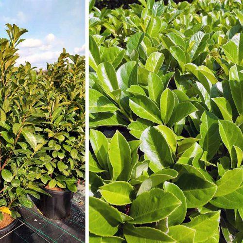 Prunus Laurocerasus 'Etna' (Cherry laurel 'Etna') - Shrub