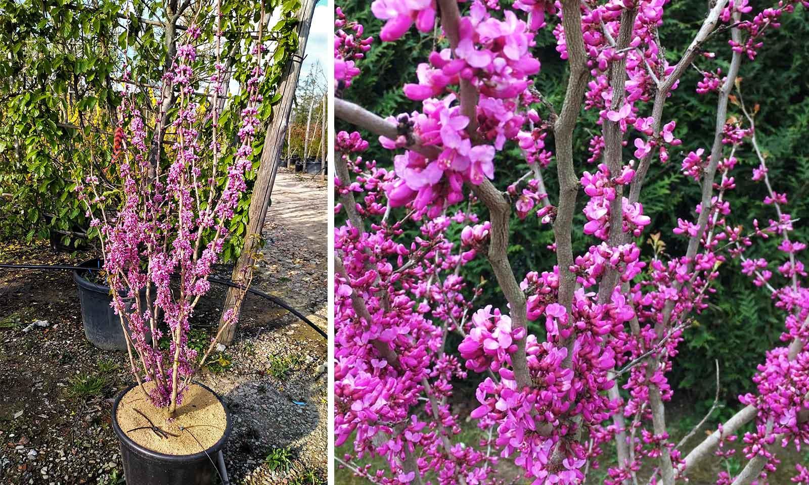 Cercis Chinensis 'Avondale' (Chinese Redbud 'Avondale') - Shrub