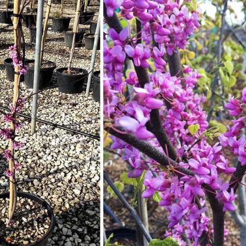 Cercis Canadensis 'Alley Cat' (Eastern Redbud 'Alley Cat') - Shrub