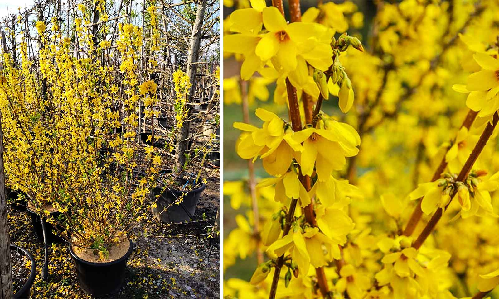 Forsythia x Intermedia (Golden Bell Bush) - Shrub