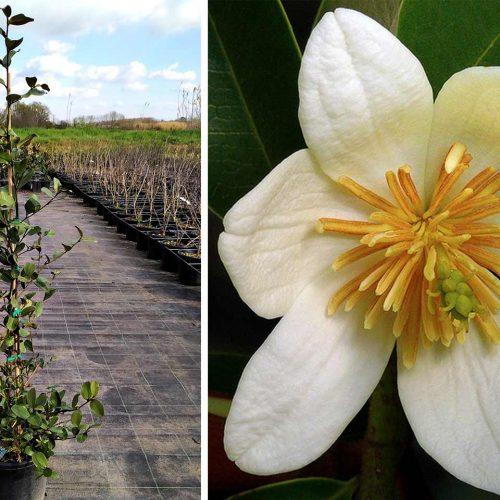 Magnolia Laevifolia 'Gail's Favourite' (Michelia Yunnaensis / Magnolia Dianica) - Shrub