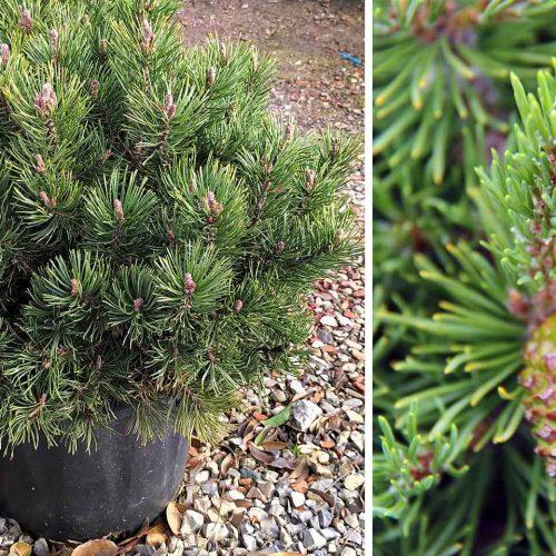 Pinus Mugo 'Mops' (Dwarf Mountain Pine 'Mops')