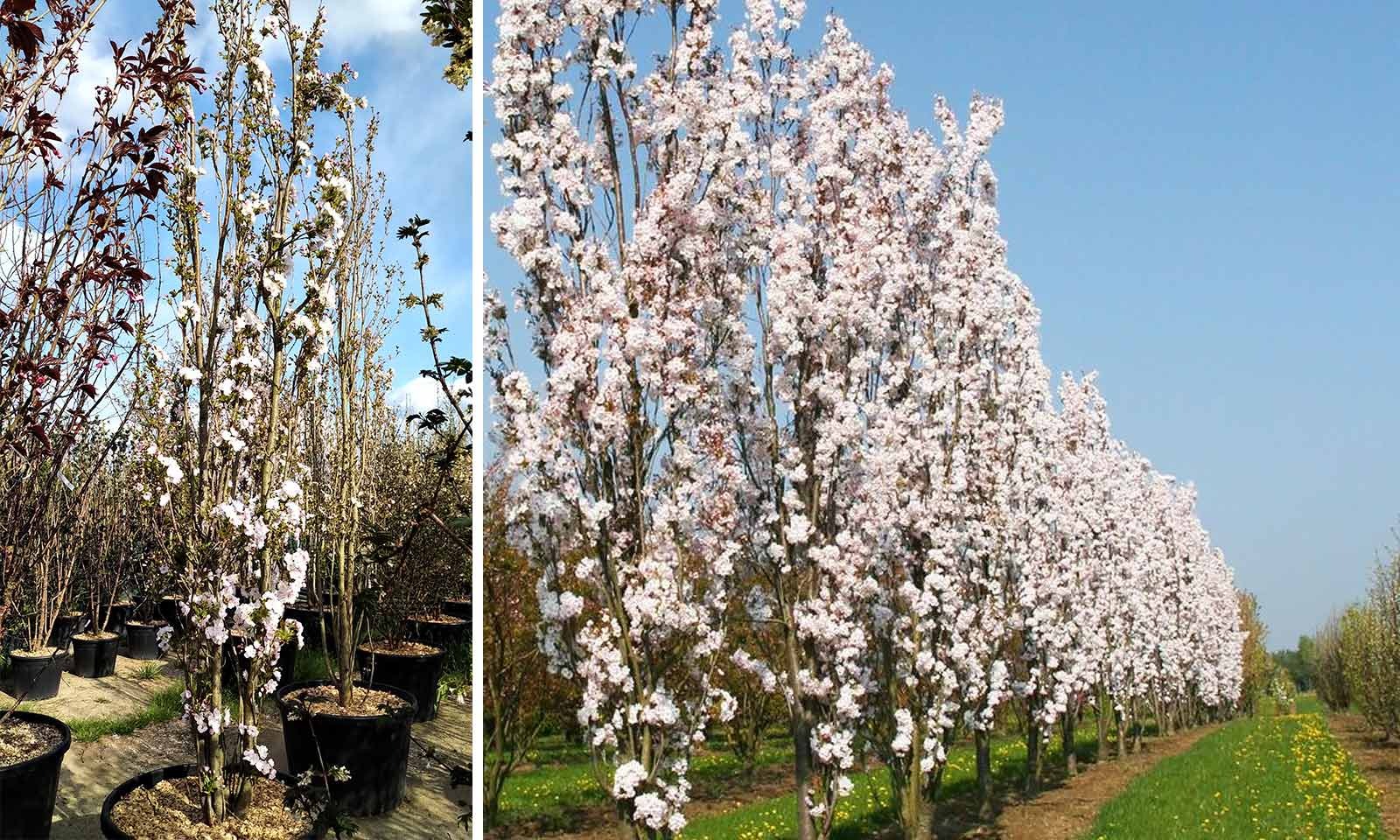 Prunus Serrulata 'Amanogawa' (Japanese Flowering Cherry 'Amanogawa')