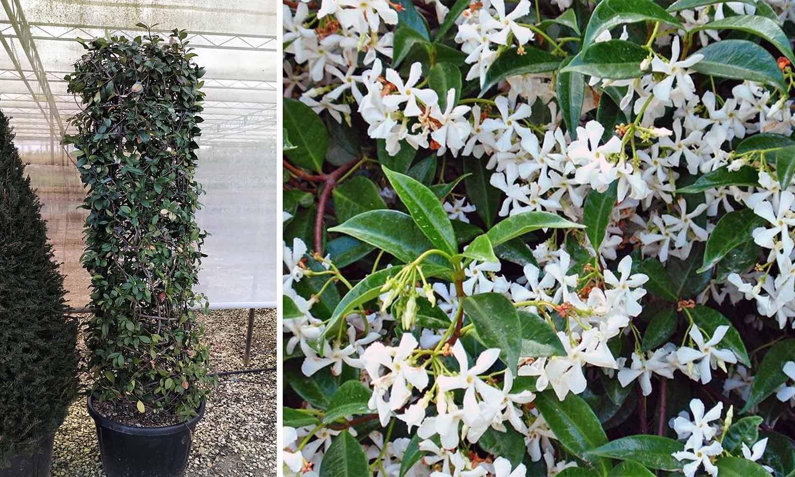 Rhyncospermum Jasminoides / Trachelospermum Jasminoides (Star Jasmine) - Cylinder