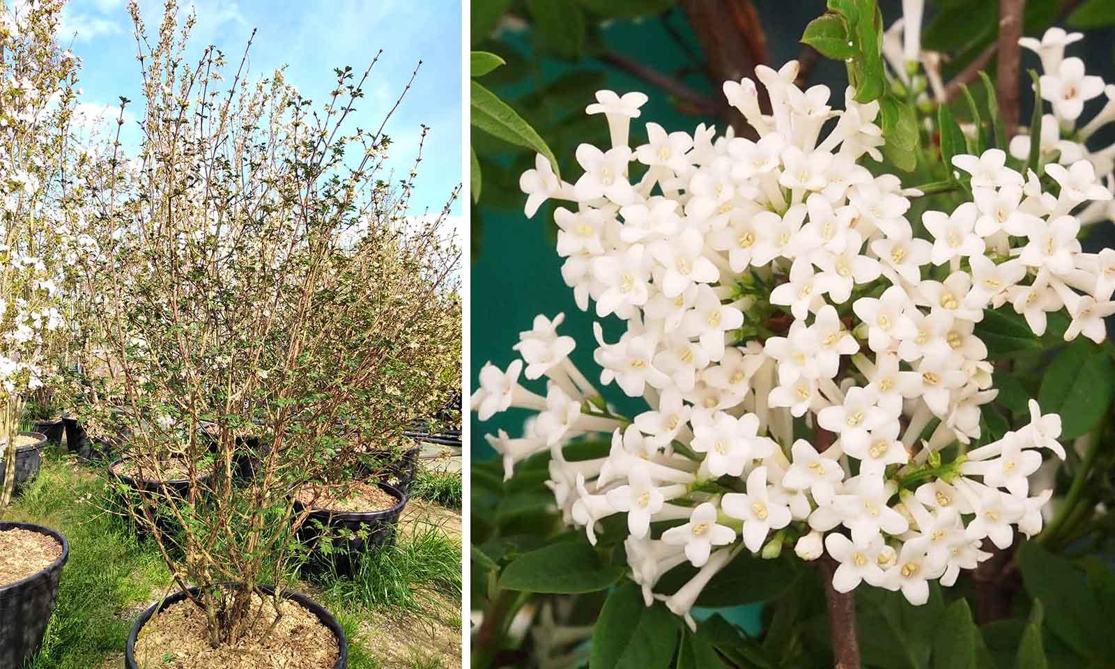 Syringa Pinnatifolia (Pinnate Lilac) - Multi-Stem