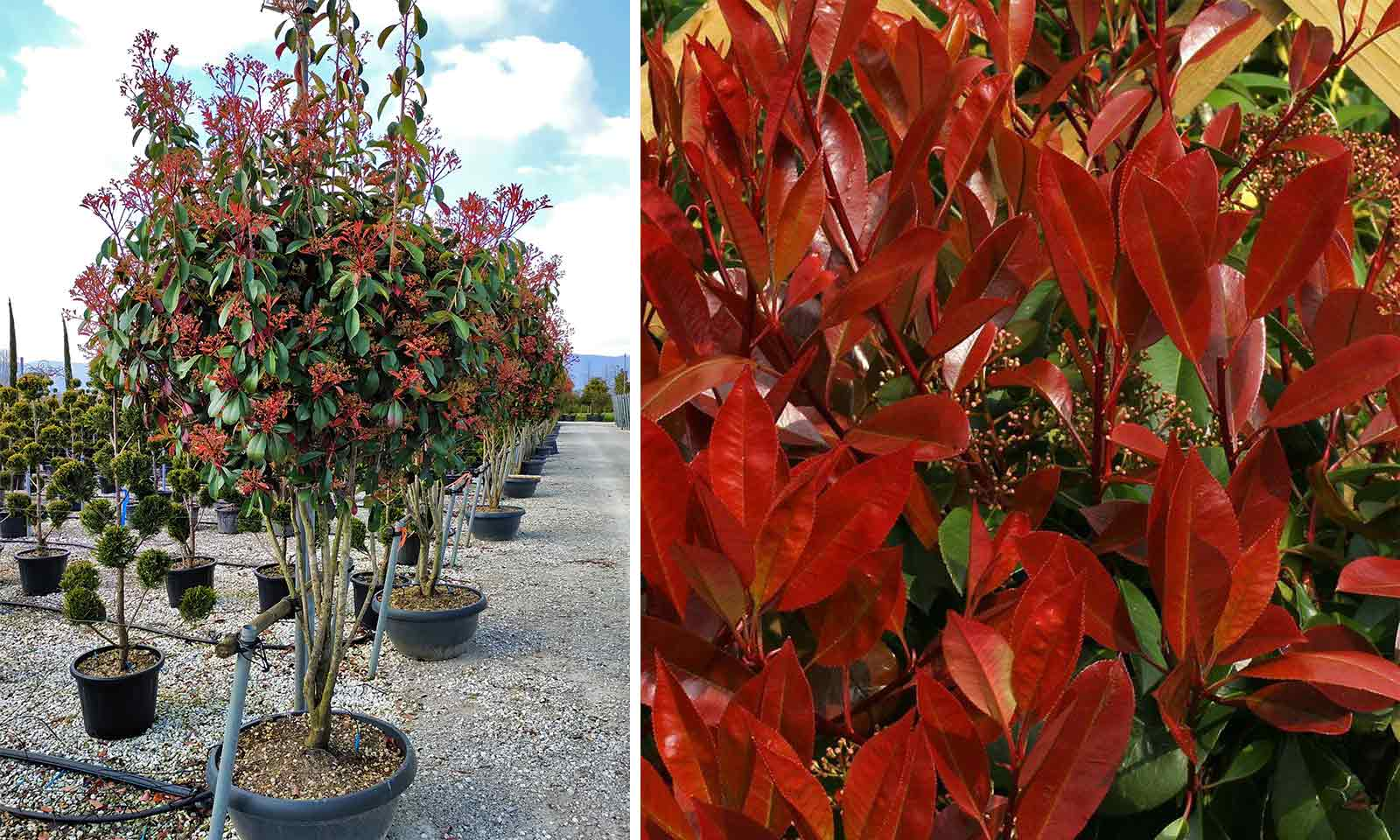 Photinia x Fraseri Red Robin - Multi-Stem