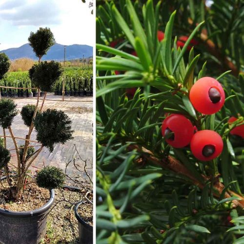 Taxus x Media 'Hicksii' (Yew 'Hicksii') – Pom Pon
