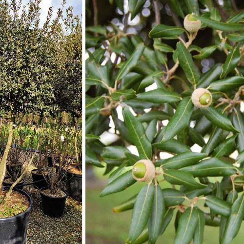 Quercus Ilex (Holm Oak / Evergreen Oak) - Multi-Stem