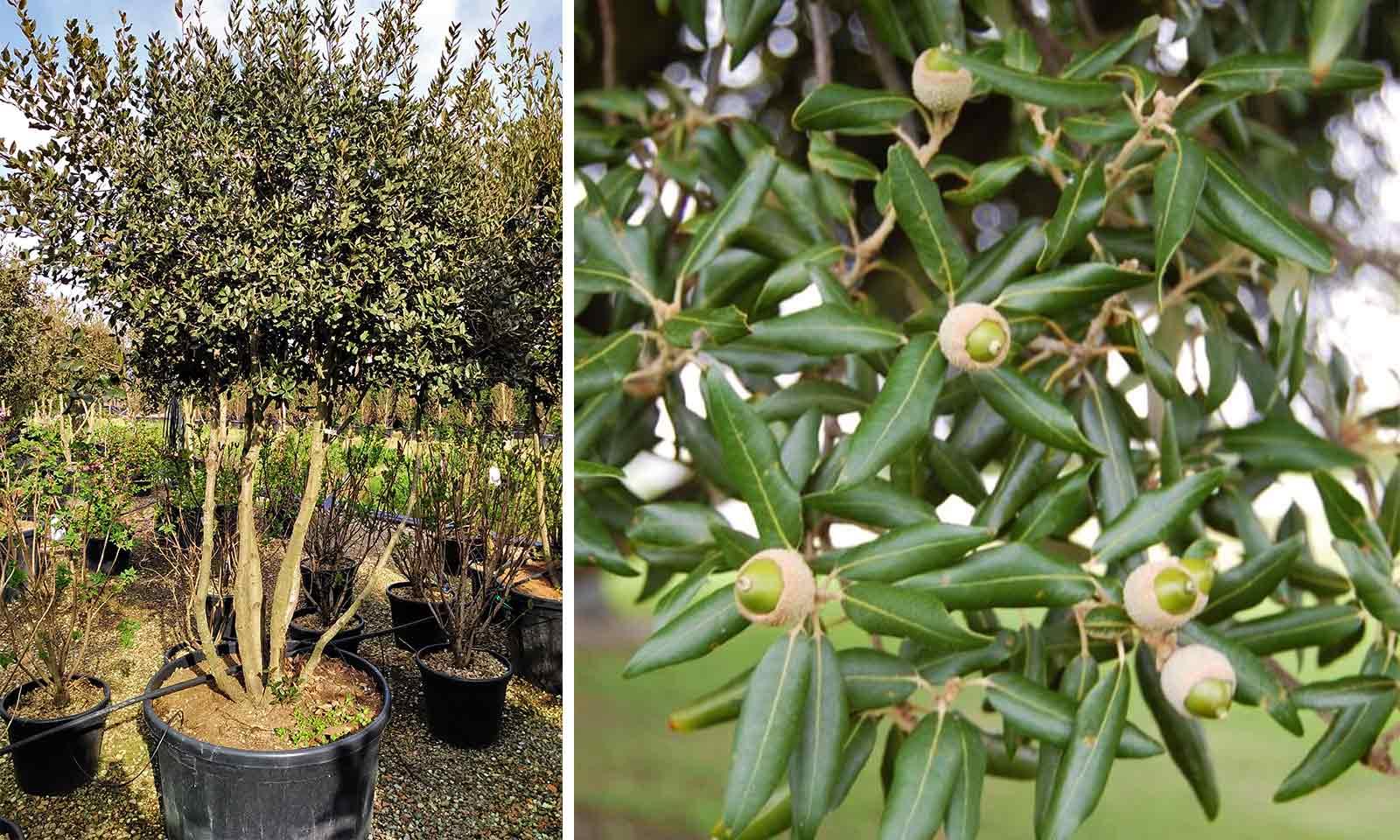 Quercus Ilex (Holm Oak / Evergreen Oak) - Multi-Stem