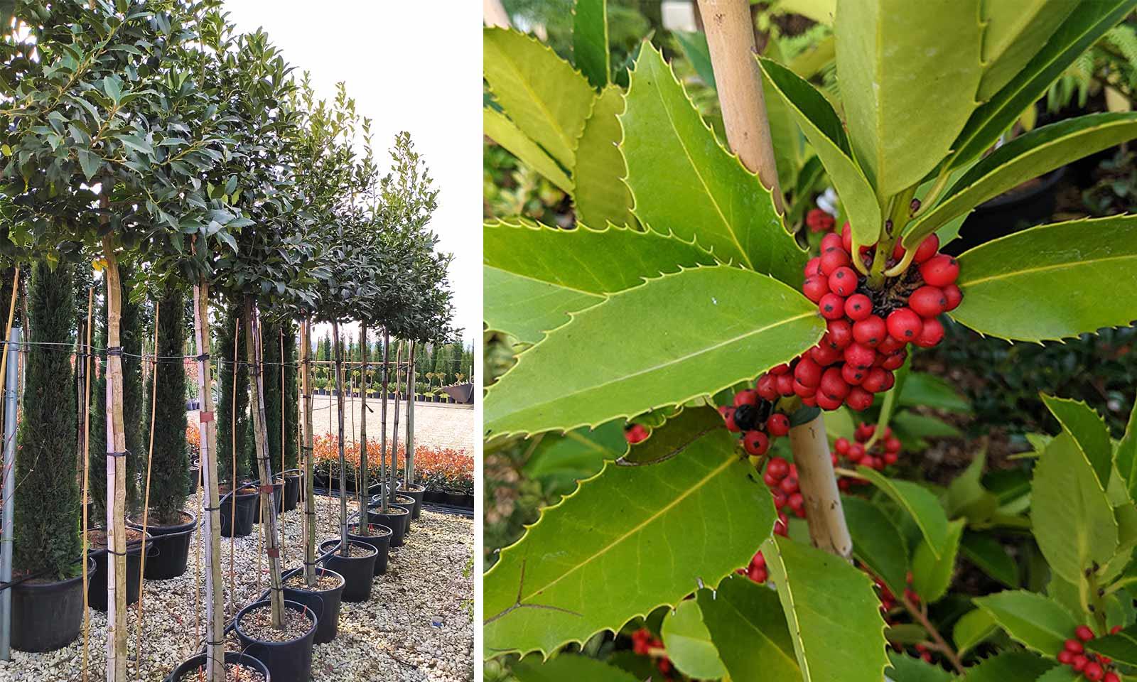 Ilex x Koehneana 'Chestnut Leaf' / Ilex Castaneifolia (Holly 'Chestnut Leaf') - Standard