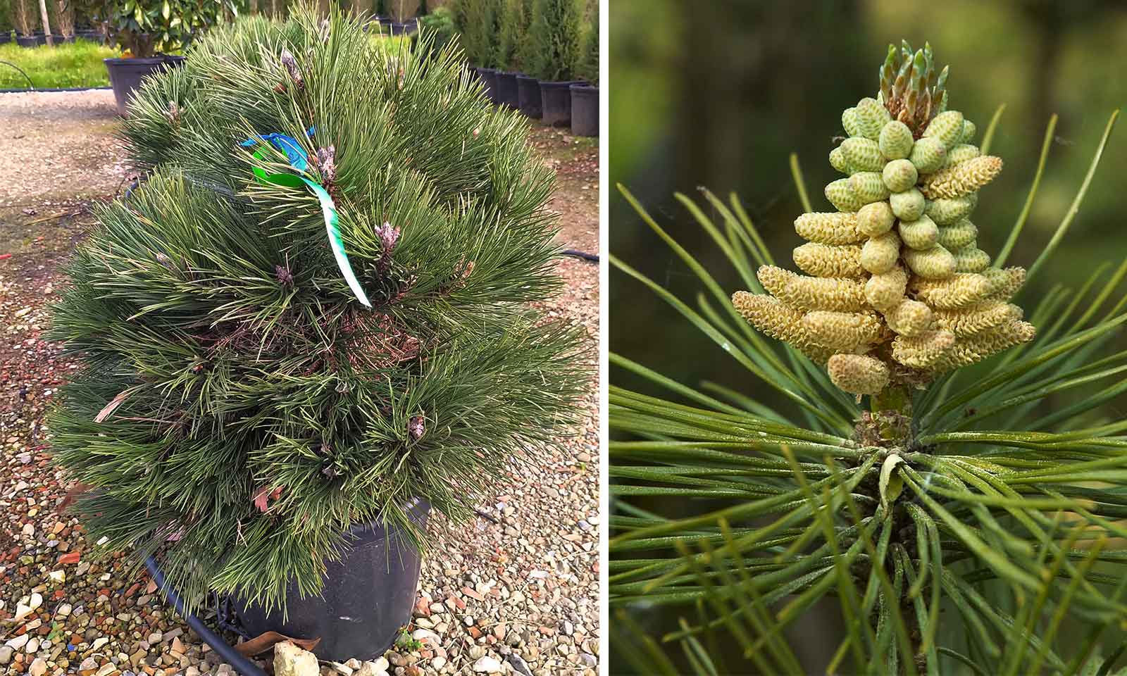 Pinus Nigra Austriaca 'Nana' (Dwarf Austrian Pine, Black Pine 'Nana')