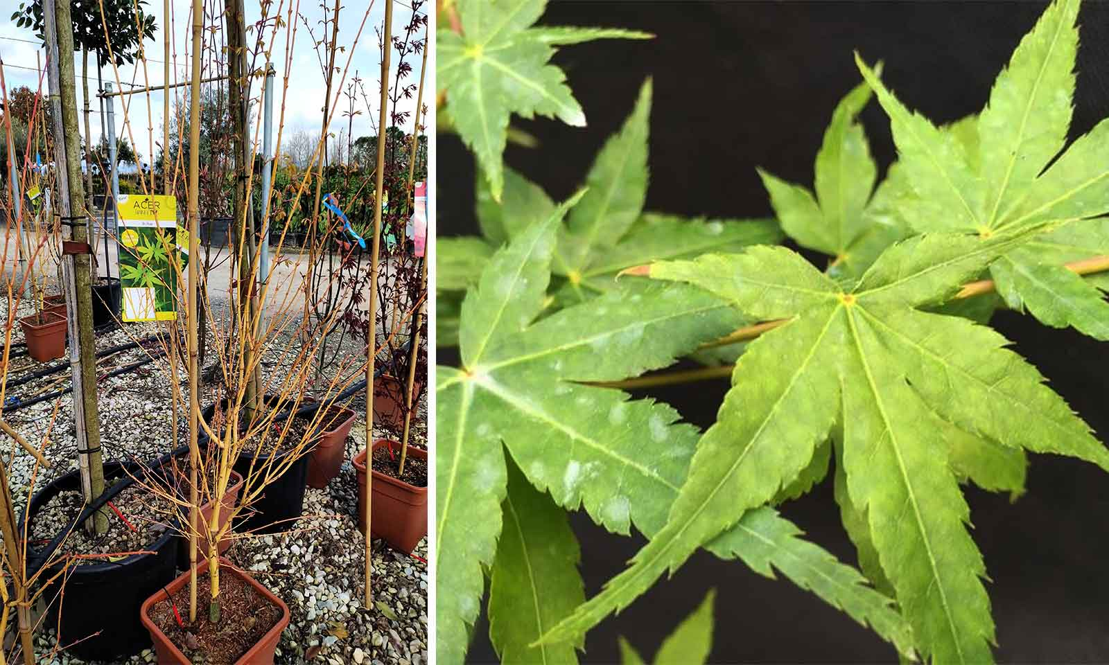 Acer Palmatum 'Bi Ho' (Japanese Maple 'Bi Ho') - Shrub