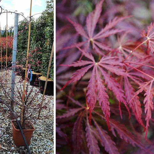 Acer Palmatum Dissectum 'Garnet' (Japanese Maple 'Garnet') - Shrub