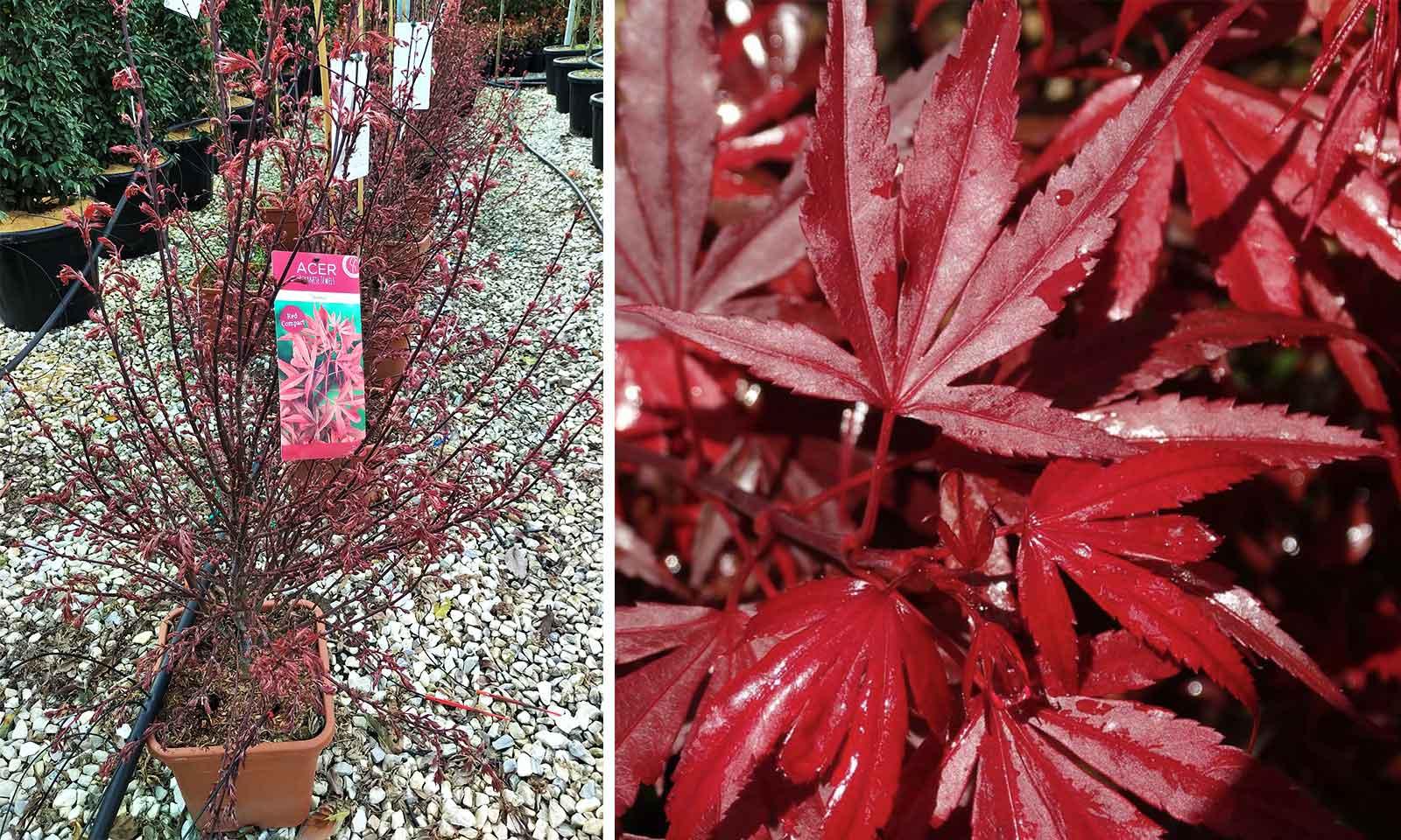 Acer Palmatum 'Shaina' (Japanese Maple 'Shaina') - Shrub