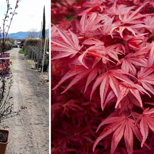Acer Palmatum 'Skeeter's Broom' (Japanese Maple 'Skeeter's Broom') - Shrub