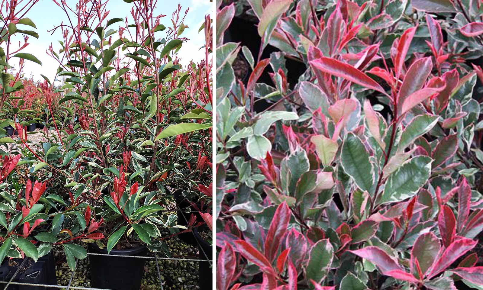 Photinia x Fraseri Pink Marble (Pink Marble Photinia) - Shrub