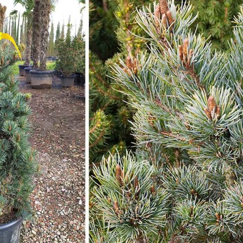 Pinus Parviflora 'Negishi' (Japanese White Pine 'Negishi')